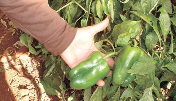 Tomate y pimiento se pueden sembrar durante todo el a o for Plantar pimientos y tomates